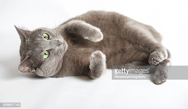 blue russian cat lying on its side - russian blue cat stock pictures, royalty-free photos & images