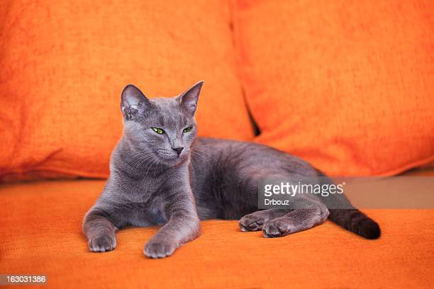 blue russian cat - burmese cat stock pictures, royalty-free photos & images