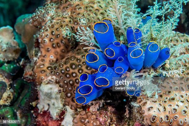 Blue Sea Squirt