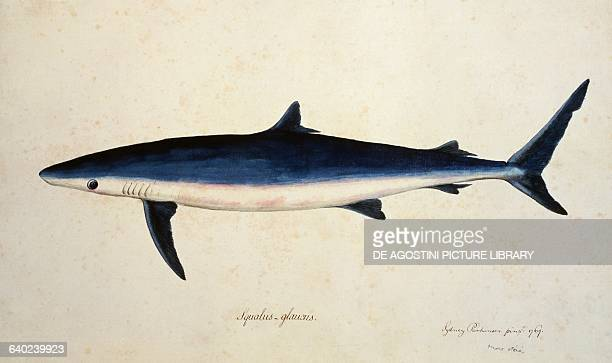 Blue shark or blue shark illustration by Sydney Parkinson from the A Journal of a Voyage to the South Seas in His Majesty's Ship the Endeavour United...
