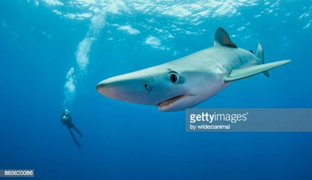 """Blue shark swimming in blue water near the surface at the dive site called """"Azores Banks"""", The Azores, Portugal."""