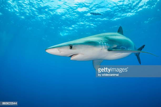 "blue shark swimming in blue water near the surface at the dive site called ""azores banks"", the azores, portugal. - shark fin stock photos and pictures"