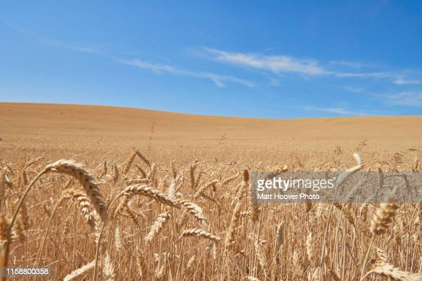 blue skies over wheat field, tensed, idaho, united states - tensed idaho stock photos and pictures