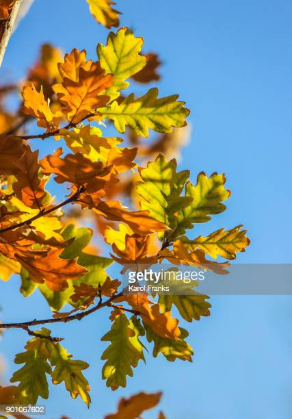 Blue sky and colorful oak leaves