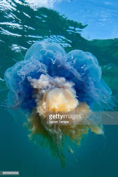 blue sky, blue jelly - lions mane jellyfish stock pictures, royalty-free photos & images