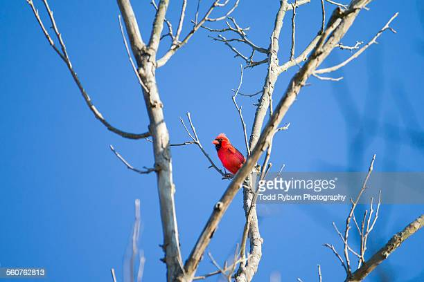 blue sky cardinal - blue cardinal bird stock photos and pictures