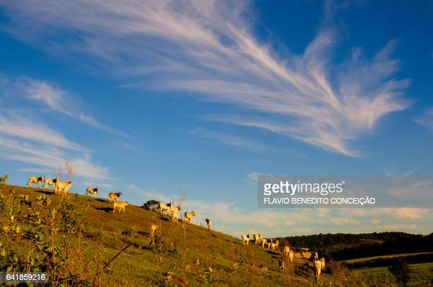 blue sky cattle on natural pasture - gado stock photos and pictures