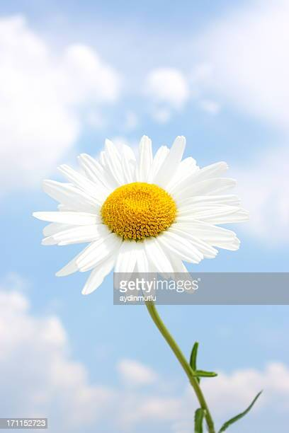 blue sky daisy meadow - marguerite daisy stock photos and pictures