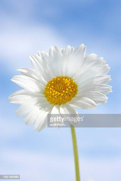 blue sky daisy - marguerite daisy stock photos and pictures