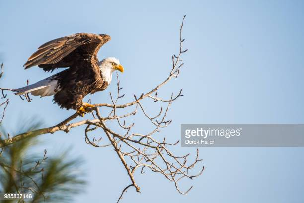 A blue sky eagle in a tree.