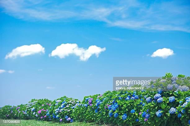 blue sky over hydrangea flowers - 六月 ストックフォトと画像