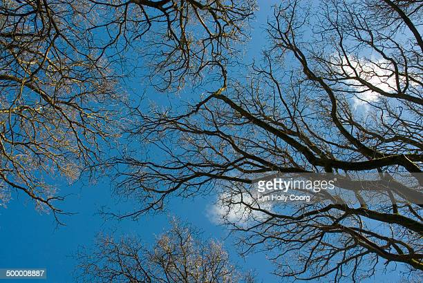 blue sky through bare tree branches - lyn holly coorg stock photos and pictures