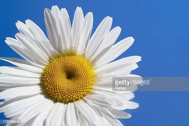 Blue Sky, White Daisy