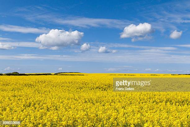 blue sky with clouds over yellow rapeseed field, england - frans sellies stockfoto's en -beelden