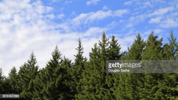 blue sky with white clouds along the tree line - wilderness area stock pictures, royalty-free photos & images