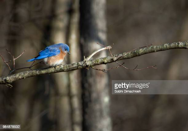 blue splatter - eastern bluebird stock pictures, royalty-free photos & images