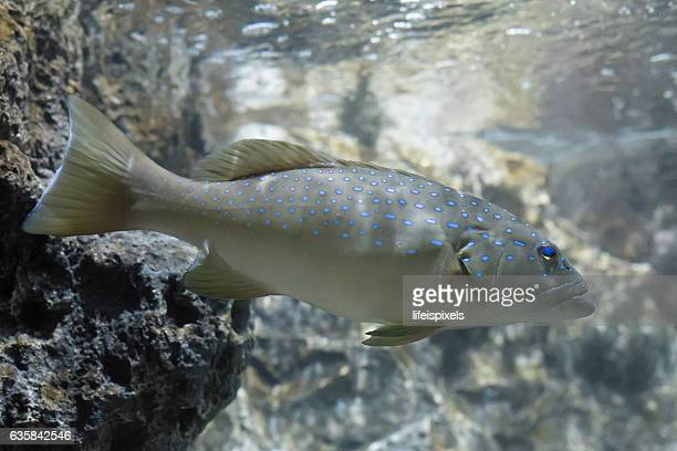 blue spotted grouper - lifeispixels stock pictures, royalty-free photos & images