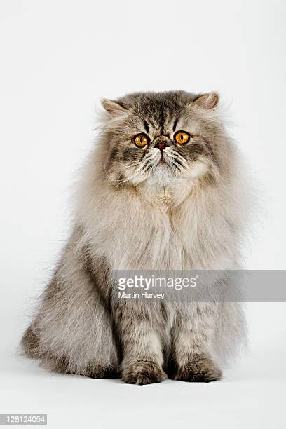 blue spotted persian tabby (felis felidae) studio shot against white background. - persian cat stock pictures, royalty-free photos & images