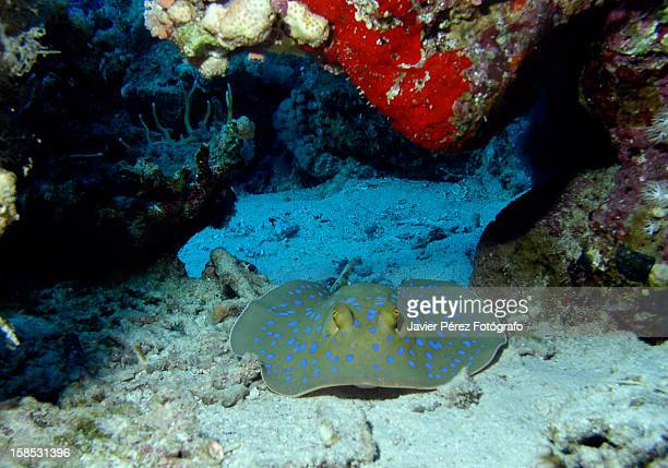 blue spotted - fotógrafo stock photos and pictures