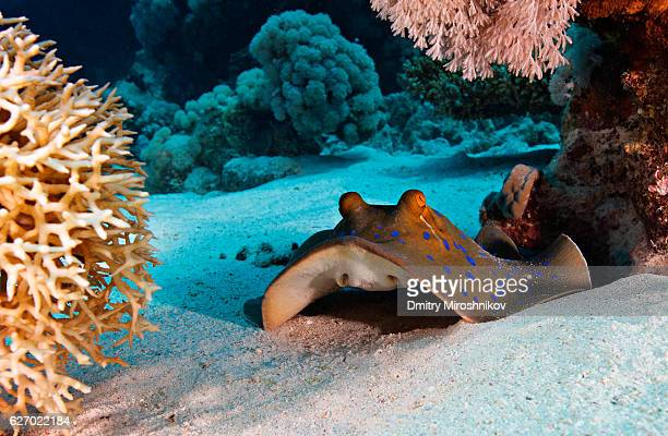 blue spotted ray rests on sand - stingray stock photos and pictures