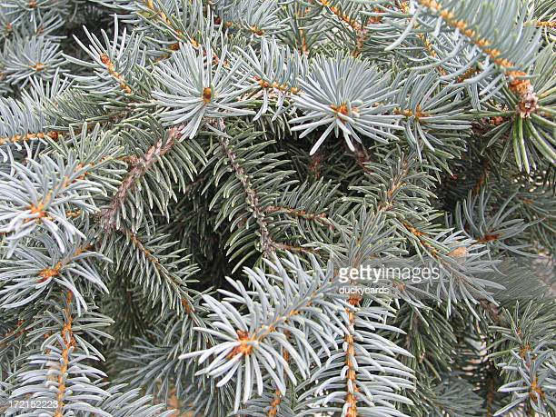 Blue Spruce Background