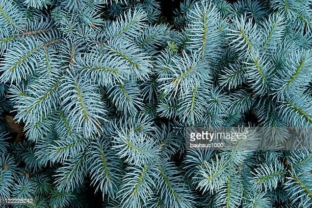 pinheiro azul do colorado de fundo - agulha parte de planta imagens e fotografias de stock
