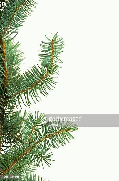 blue spruce, situato su bianco. verticale - conifera foto e immagini stock