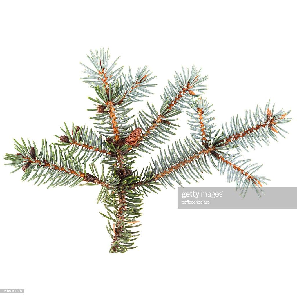 Blue spruce twig : Stock Photo