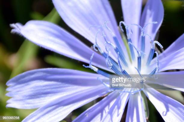 Blue Stamen