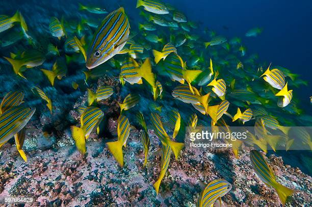 Blue Striped Snappers foraging seabed, Cocos Island, Costa Rica