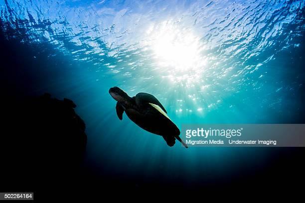 Blue sun turtle