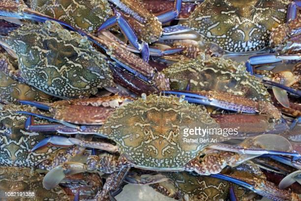 blue swimmer crabs - rafael ben ari fotografías e imágenes de stock