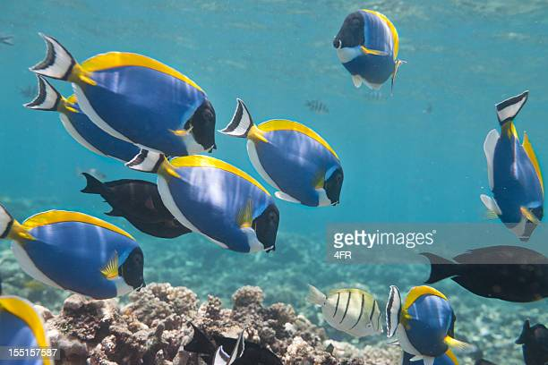 blue tang, palette surgeonfish (paracanthurus hepatus) school - seychelles stock pictures, royalty-free photos & images