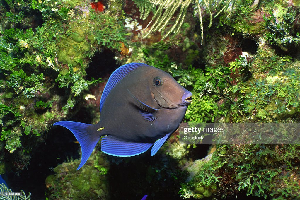 Blue tang school grazing on algae-covered coral : Stockfoto