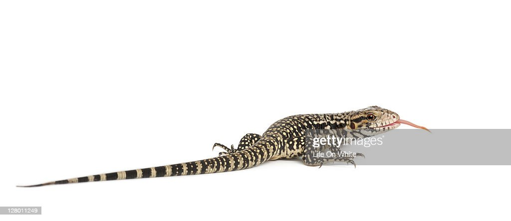 Blue Tegu Tupinambis Merianae Stock Photo - Getty Images