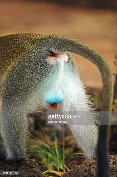 blue testicles of dominant male vervet monkey, chlorocebus aethiops, amboseli national park. kenya. dist. southern, central & east africa - scroto foto e immagini stock