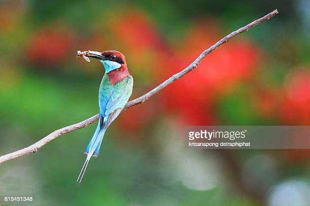 blue throated bee eater - prachuap khiri khan province stock pictures, royalty-free photos & images