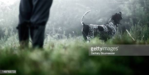 blue tick coonhound - coonhound stock pictures, royalty-free photos & images