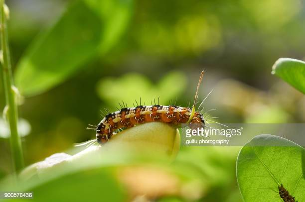 Blue tiger butterfly life cycle -caterpillar