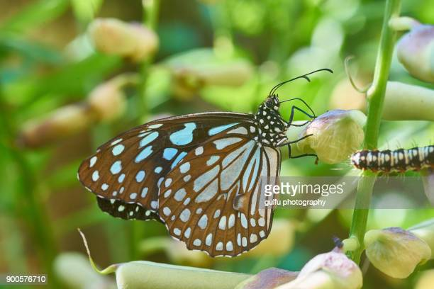 Blue tiger butterfly life cycle-butterfly