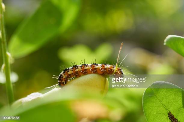 Blue tiger butterfly life cycle-caterpillar