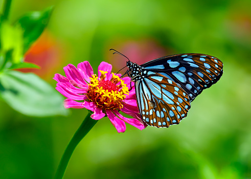 Blue tiger butterfly on a pink zinnia flower with green background 849220498