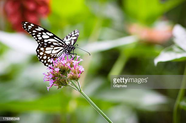 blue tiger butterfly (tirumala hamata) - ogphoto stock photos and pictures