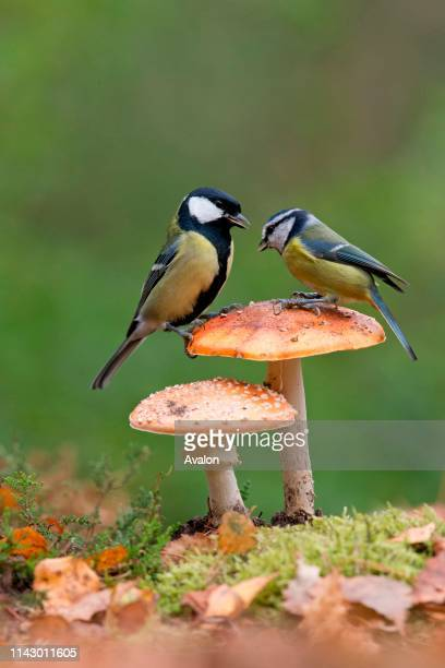 Blue Tit adult and Great Tit adult male perched on Fly Agaric fungus Suffolk England UK October