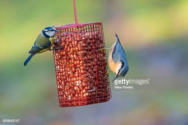 Blue Tit and Nuthatch on peanut feeder