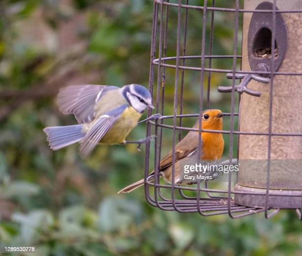 blue tit and robin birds on bird feeder - garden stock pictures, royalty-free photos & images