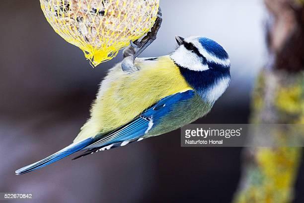 Blue Tit (Parus caeruleus) at a bird feeder in wintertime - Bavaria / Germany