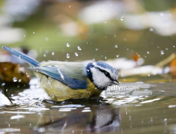 pimpelmees (cyanistes caeruleus) baden - vogel stockfoto's en -beelden