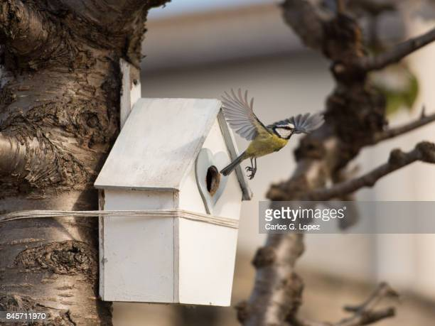 blue tit bird flying out of house-shaped nest - birdhouse stock pictures, royalty-free photos & images