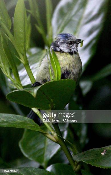 A blue tit carries grubs to its chicks